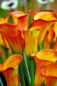 Zantedeschia 'Captain Safari'  a lovely golden orange summer-bloomer