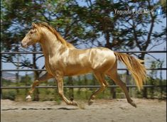 Pearl PRE stallion