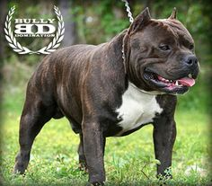 She's not beefy like this, but I LOVE my pitbull!! :) They're awesome dogs!! :) Very loyal!