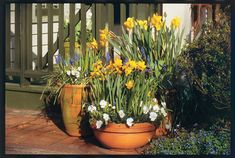 Daffodils are container-friendly options for spring plantings. Pair them with other spring bloomers with similar condition requirements such as grape hyacinth. See Our Complete Daffodil Guide Container Herb Garden, Container Gardening Vegetables, Container Plants, Succulent Containers, Container Flowers, Vegetable Gardening, Garden Bulbs, Planting Bulbs, Porches