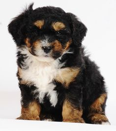 "Tiny Bernedoodles -- Bernese Mountain Dog & Poodle cross - 10-25 lbs full grown! 10-14"" high - non-shedding. I'm getting this dog."