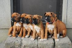 Caring for a Boxer puppy - http://canineowners.com/dog-training/boxer-puppy-training/
