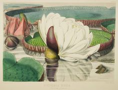 Opening Flower by William Jackson Hooker from Victoria regia; or Illustrations of the Royal Water-Lily (1851)