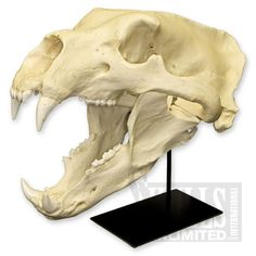 1600 having the ferocity, jaw structure, & teeth of the polar bear combine with square jawline!!