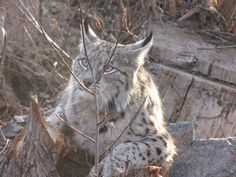 "Lynx, ""Bashgol Protected Area"", Takestan, Ghazvin Province, Iran (Persian: سیاه گوش -  منطقه حفاظت شده باشگل - ۸ کیلومتری تاکستان, قزوین, استان قزوین)"