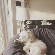 Morgenhygger med den lille fis her 👉🏻🐶❤️ #morgen#hygge#weekend#søndag#fitfamdk#fitlife#1advent#advent#jul#christmas#maltese#malteser#sam#dog#hund#elsker#ham#love#home#bolig#boligdk#indretning#design#hay