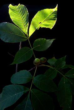Carya glabra - Pignut Hickory | by c.buelow