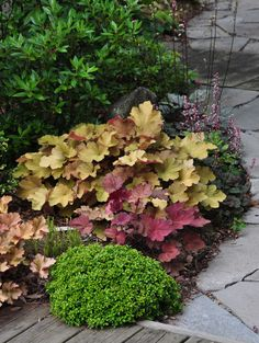 another example of a beautiful shade garden, flowers, gardening, outdoor living, A mix of Heuchera and the green mounded plant is a 10 yr old Buxus microphylla Kingsville See the blog post for details