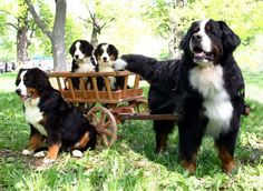 Preciosa falimilia de Boyeros de Berna♥ #boyero #family #pupies