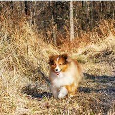 Sheltie running outside maine! Happy Shetland sheepdog fortier photography