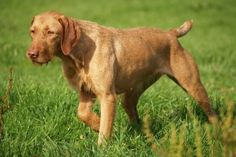 Wirehaired Vizsla Dog Breed Guide:  Get in depth information about the Wirehaired Vizsla, and start learning what makes this breed of dog so unique.