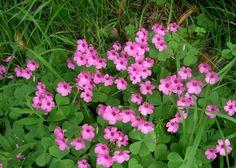 Oxalis articulata: pink wood sorrel (edible)