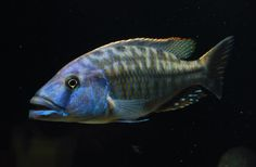 Malawi Cichlids, African Cichlids, Colorful Fish, Tropical Fish, Beautiful Fish, Beautiful Horses, Planted Aquarium, Aquarium Fish, South American Cichlids