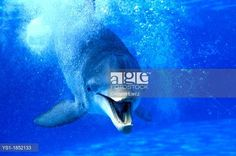 Bottlenose Dolphin, tursiops truncatus, Adult with Open Mouth, Funny Attitude. © Gerard Lacz / age fotostock - Stock Photos, Videos and Vectors