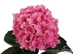 """Cut hydrangea flower """"Spike"""" (Pink)"""