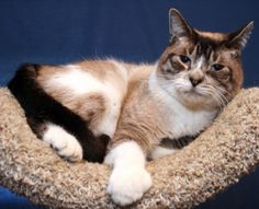 HEMMI is an adoptable Siamese Cat in Royal Oak, MI. Affection Level : I LOVE affection! Energy Level : Low Age : 4yrs Children : I love everyone! Cats : I'm fine with cats Dogs : I've never been aroun...