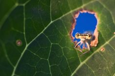 Window on nature - an orange-eyed damselfly peeks out from a hole in a leaf.