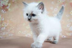 2016: Arya A Zwollywood Cat. 7 Weeks old. Ragdoll kitten, blue colourpoint. Eragon litter.