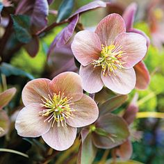 Lenten Roses ~ Bugs won't eat them. Deer won't munch on them. Heat and drought won't faze them. And when it comes to beautiful blooms in the dead of winter, no other perennials can touch them.