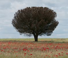 Tree in the poppies