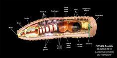 photo 11a-Annelida-1.jpg