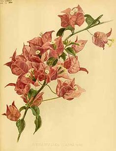 202975 Bougainvillea glabra Choisy var. hort. / The garden. An illustrated weekly journal of horticulture in all its branches [ed. William Robinson], vol. 45: (1894)