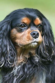 A Portrait Of A Cavalier King Charles Spaniel by Daphne Sampson
