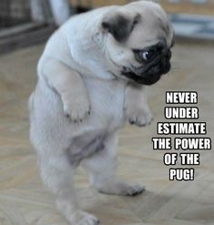 Pugs have a variety of facial expressions. For that reason, pug memes are funny and I hope these 101 dog memes featuring pugs bring a smile to your day! Funny Animal Jokes, Funny Dog Memes, Cute Funny Animals, Funny Cute, Funny Dogs, Animal Memes, Cat Memes, Image Hilarante, Jokes