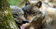 Gray Wolves--Peter Souza Photo
