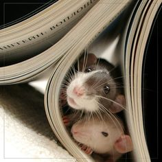 I have heard of people diving into books and being captivated by the adventure they found there. This is the first time I have heard of rats being taken captive by a book while out adventuring!