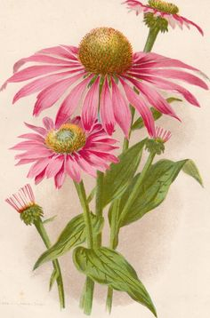 ANTIQUE CHROMO LITHOGRAPH COLOUR BOTANICAL PRINT.PURPLE CONE FLOWER.1890.FLOWER uk.picclick.com