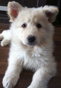 LOOK AT THE FUZZY! White german shepherd puppy