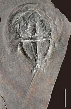 Horseshoe crab fossil