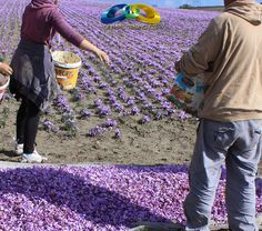 The prefecture of Kozani produces the best quality of crocus in the world! The locals are so dedicated to its production rite that one of the producer's village, i. Krokos, is named after this spice. Extra Virgin Oil, Macedonia Greece, Chios, 1 Pound, The Locals, Natural Health, Counting, Harvest, Viajes