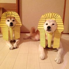 You pronounce it wrong it's King Pup, not Tut. Dog Halloween Costumes, Pet Costumes, Shiba Inu, Funny Animal Pictures, Dog Pictures, Cute Baby Animals, Funny Animals, Cute Puppies, Cute Dogs