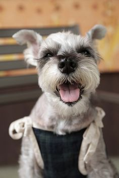 Miniature Schnauzer by Teruomi. @Heather Fuhrken , looking at all the pics you post makes me want one. They're so adorable!!!