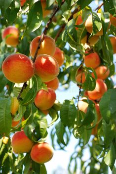 Loads of ripe apricots on a tree , Orange Aesthetic, Nature Aesthetic, Arte Latina, Apricot Tree, Beautiful Fruits, Fruit Painting, Peach Trees, Tree Photography, Exotic Fruit