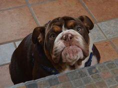 English Bulldog pups for sale, English Bulldog dogs for adoption and English Bulldog pet breeders. English Bulldog Puppy for Sale Bulldog Puppies For . Bulldog Puppies For Sale, English Bulldog Puppies, Cute Puppies, Cute Dogs, Dogs And Puppies, Blue English Bulldogs, Doggies, Baby Animals, Cute Animals