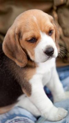 Beagle pup so cute!! I want one.