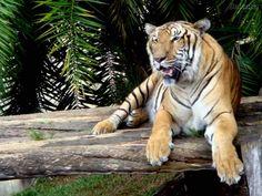 felinos selvagens - Pesquisa Google