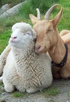 see their eyes are closed because the cute just hurts. Sheep and goat friendship.