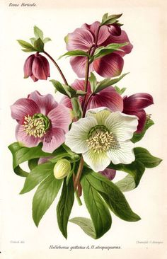 1883 Hellebore Purple White Antique Botanical Print French Garden Lithograph Vintage Flower Home Decor