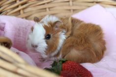 smileandwaveboyyz:    One week old Sheba guinea pig.    little wee-angel!