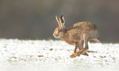 Wildlife watching from a wintery lane: Country diary 100 years ago Rabbit Hunting, Year Of The Rabbit, Bunny Art, Modern Watches, Happy Animals, Animals Of The World, Chipmunks, The Guardian, Hare