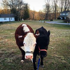 Good morning Dudley and Destiny, the greatest couple ever! #gbtennessee #gentlebarn #teamdudley #ourdestiny #animalrescue #begentle