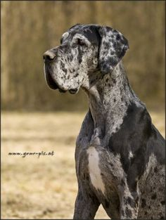Deutsche Dogge (Great Dane) | YOUR-PIC