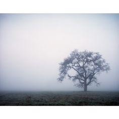 Foggy Oak Tree, Thousand Oaks, CA ($40) ❤ liked on Polyvore featuring backgrounds
