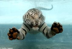 white+tiger+jumping+in+a+pool | 30 Day Photo Challenge Day 24 |
