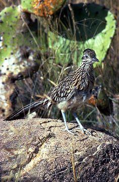 New Mexico state Bird _ Roadrunner