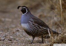 California Quail — Birds of North America Online